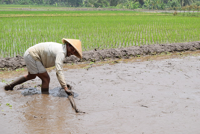 Reaching Impact and Scale in Rice Farming