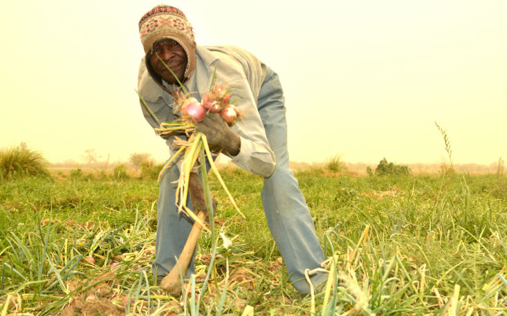 Dutch Onions to Africa: Yes or No?