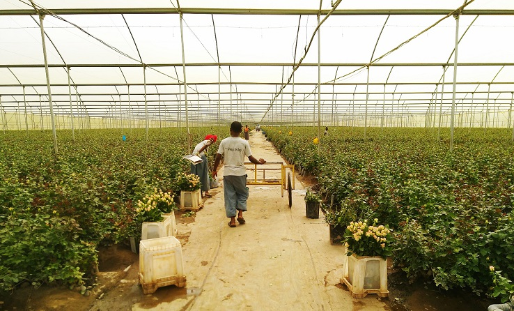Towards a Gender Approach in the Ethiopian Flower Sector
