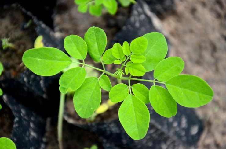 ICCO Presents Study on Moringa in Myanmar