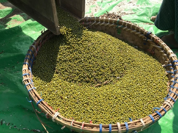 Pulses Are a Good Bet for Myanmar Farmers