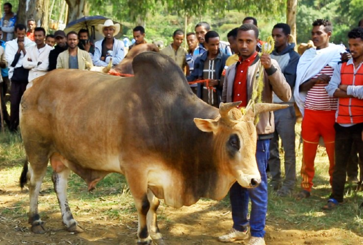 Cattle Fattening Fair in Dembecha