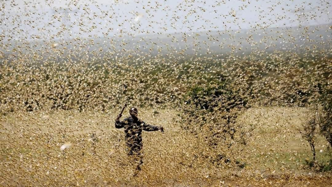 Desert Locusts Continue to Threaten Food Security in Ethiopia