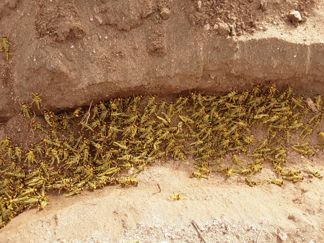 Desert Locusts Continue to Threaten Food Security in Ethiopia
