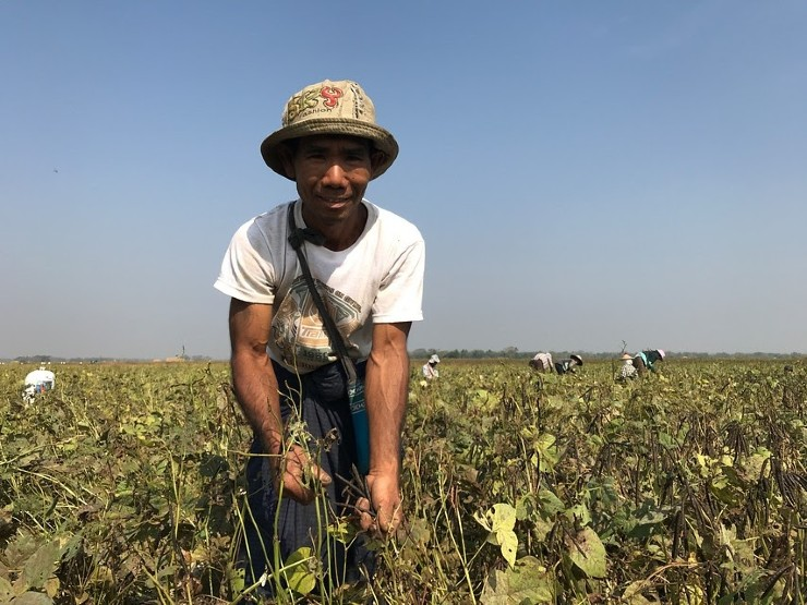 Boer die bonen verbouwt in myanmar